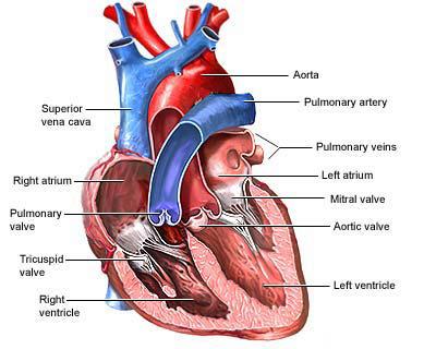 Heart Diagram 2